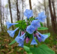 More Virginia Bluebells