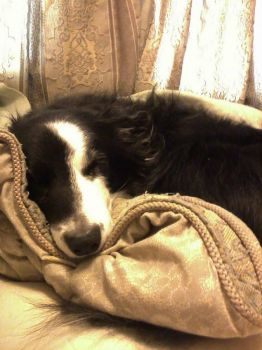 Darcy sleeps #1