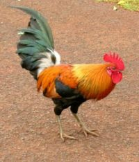 Hawaiian Rooster