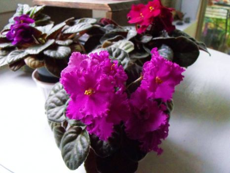 Pretty African Violets