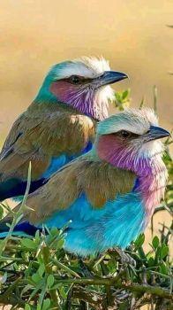Indian Roller Birds