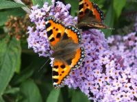Tortoiseshell butterfly in Newcastle, N.Ireland