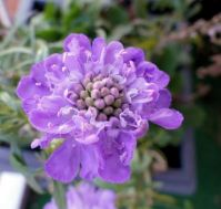 my pincushion flower (scabiosa, duifkruid)...