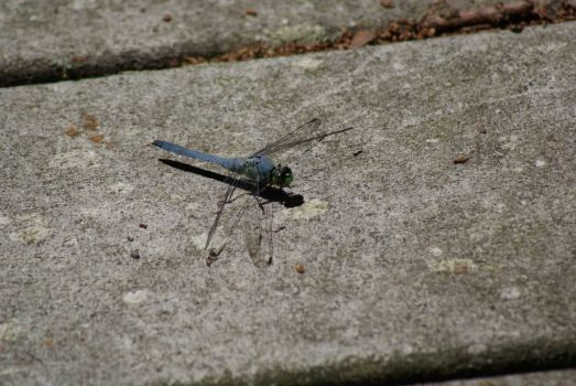 Dragonfly at Cache River Cypress Swamp