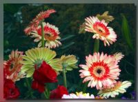 Gerbera for Taisia