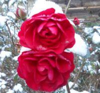 winter wild roses