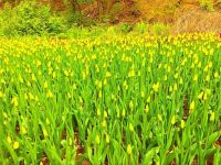 A bed of yellow tulips