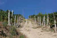 A vineyard near Alba in Italy