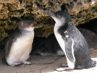 Little Penguins, Penguin Island, Western Australia