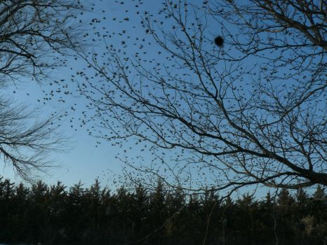 Invasion of Starlings.