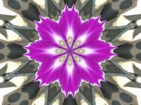 2012 Kaliedoscope morning glory