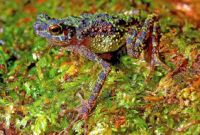 A New Guinea toad that hasn't been seen in 87 years - the Rainbow Toad.