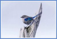 Splendid Fairywren Male, getting his blue on!
