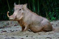 Mr. Pig!