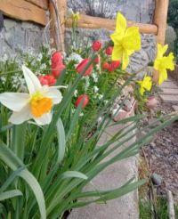 Narcisos, tulipanes y sello de Salomón