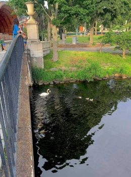 Father Cob and Cygnets Emerge from Under a Bridge on the Charles River Esplanade, Boston, June 6, 2021