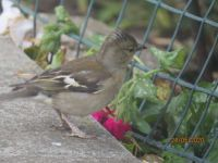 Female Chaffinch looking for insects