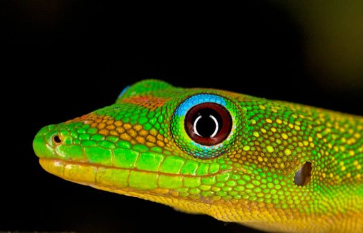 Gold dust Day Gecko - Hawaii...