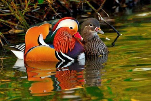 Mandarine ducks