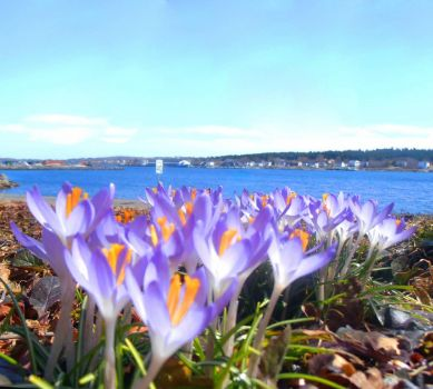 Crocuses Greet the North Atlantic, Bay Roberts, NL