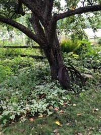 My neighbor's apple tree