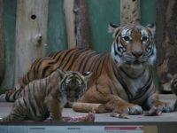 Malayan tiger, Zoo Praha