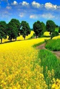Gorgeous Yellow Field
