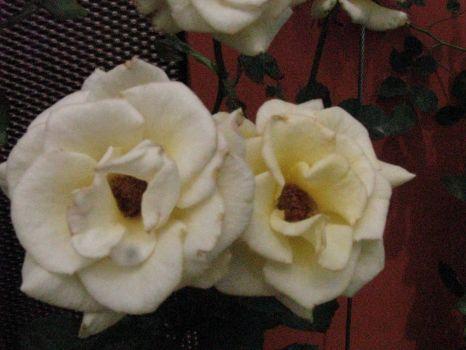 White roses for Feb birthdays