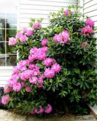 Beautiful rhododendron.  Easy