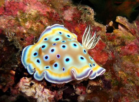 Nudibranch 1
