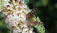 speckled wood butterfly ( Bont zandoogje)