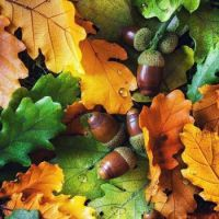 . fall leaves and acorns
