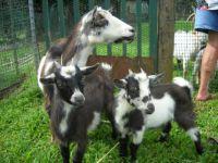 Mama Goat and Kids