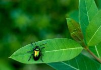 A Complex Relationship--Dogbane Beetle on Dogbane Plant, the Blue Ridge Parkway in Virginia