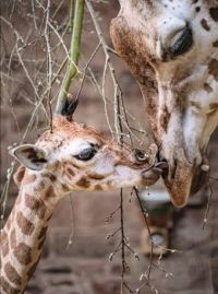 Rothschild Giraffe born on 3rd March 2021 at Chester Zoo