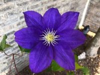 Clematis in Terry Oakes' yard