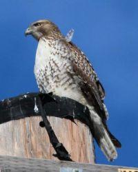 Red-tailed Hawk, Lagoon Trail, Del Mar, California