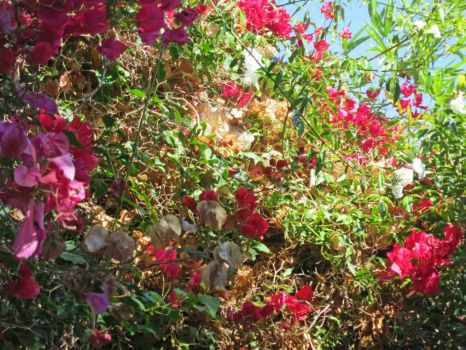 old bougainvilleas