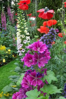 Foxgloves, hollyhocks, and poppies