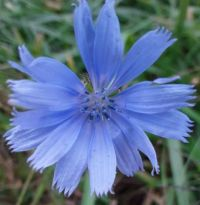 Chicory along the road