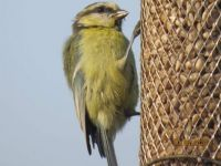 Juvenile Bluetit looking a bit  scruffy