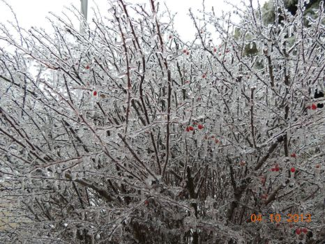 ice covered berries