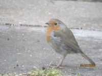 Early morning Robin