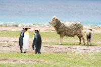 emperor-penguins-and-sheep-falklands