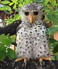 Beautiful Eagle-Owl With Heart Feathers
