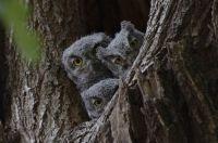 Baby Western Screech-Owls
