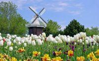 Holland tulips
