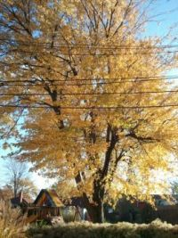 yellow tree last fall 2013
