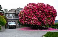 125+ Year Old Rhododendron In Canada