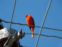 Cardinal Highwire Act